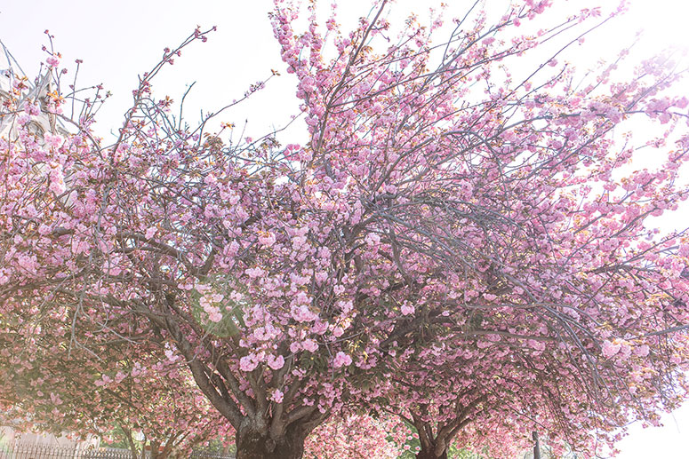 Cherry blossoms in Paris. Photos of the springtime sakura bloom in France.